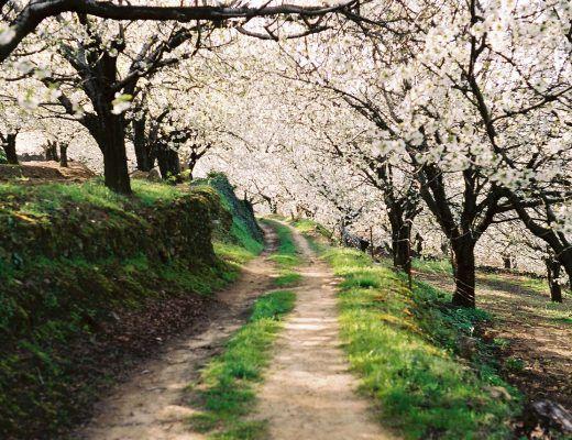 fiesta del cerezo en flor valle del jerte 2018